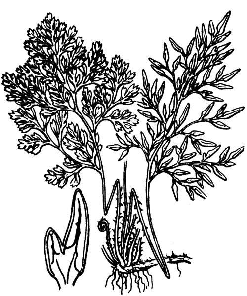 Cryptogramma crispa (L.) R.Br. - illustration de coste