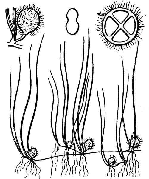 Pilularia globulifera L. [1753] - illustration de coste