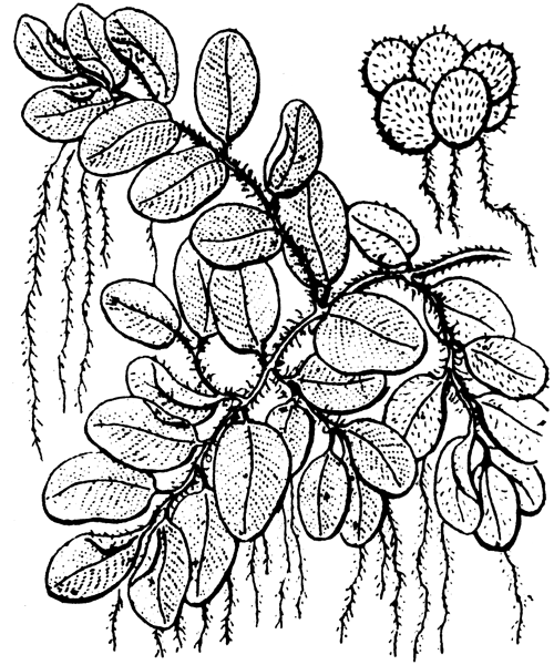 Salvinia natans (L.) All. - illustration de coste