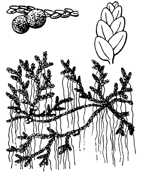 Azolla filiculoides Lam. - illustration de coste