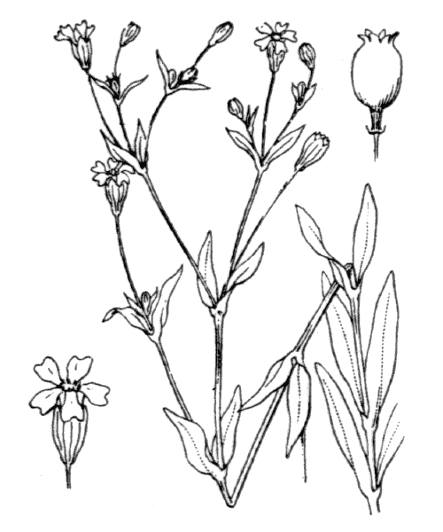 Atocion rupestre (L.) B.Oxelman - illustration de coste