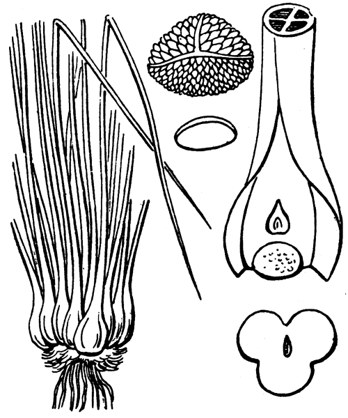Isoetes boryana Durieu - illustration de coste