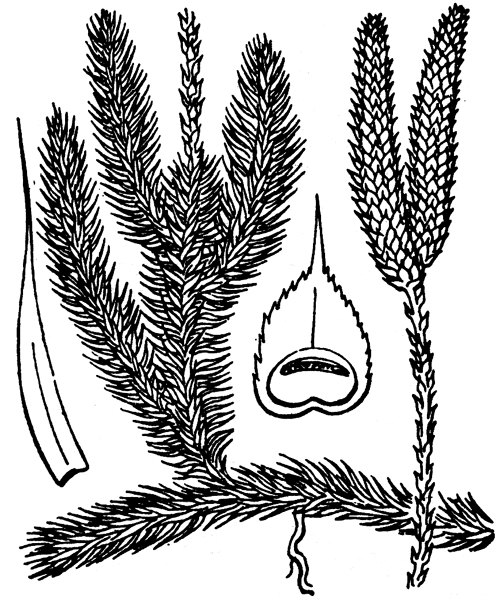 Lycopodium clavatum L. - illustration de coste