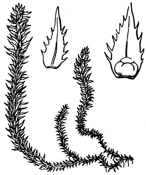 Selaginella selaginoides (L.) P.Beauv. ex Schrank & Mart. - illustration de coste
