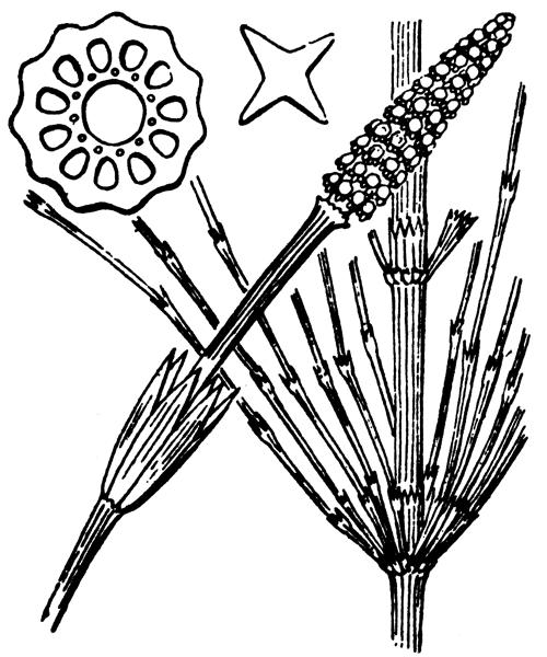 Equisetum arvense L. [1753] - illustration de coste