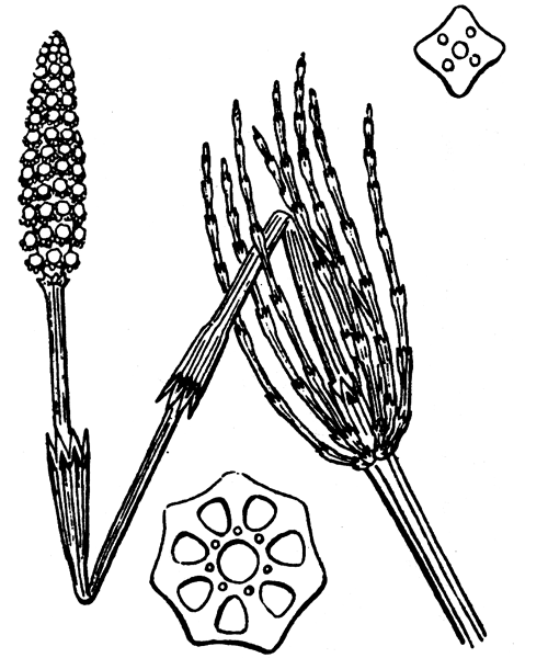 Equisetum palustre L. [1753] - illustration de coste