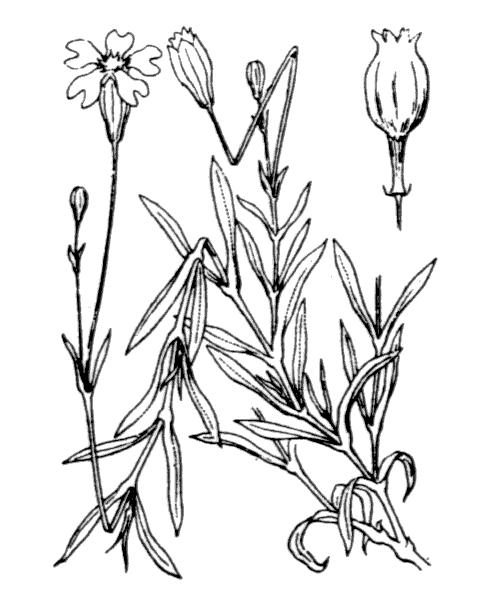 Silene saxifraga L. - illustration de coste