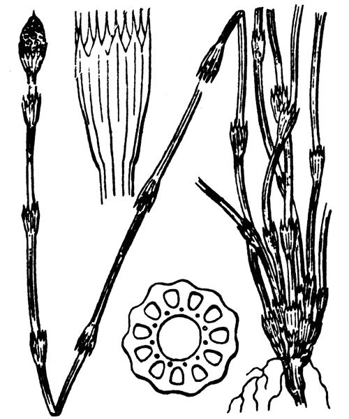 Equisetum ramosissimum Desf. - illustration de coste