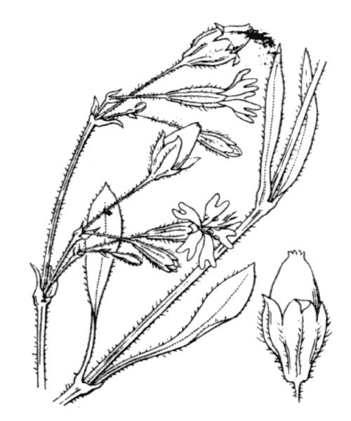 Silene nutans subsp. nutans var. brachypoda (Rouy) P.Fourn. - illustration de coste