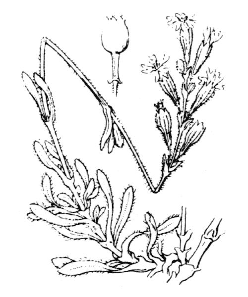 Silene nicaeensis All. - illustration de coste