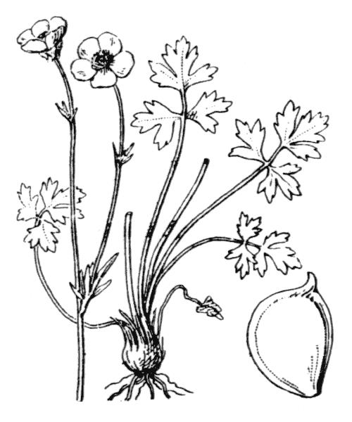 Ranunculus bulbosus L. - illustration de coste