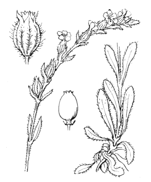 Silene gallica L. - illustration de coste