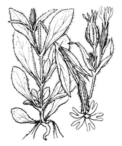 Silene noctiflora L. - illustration de coste