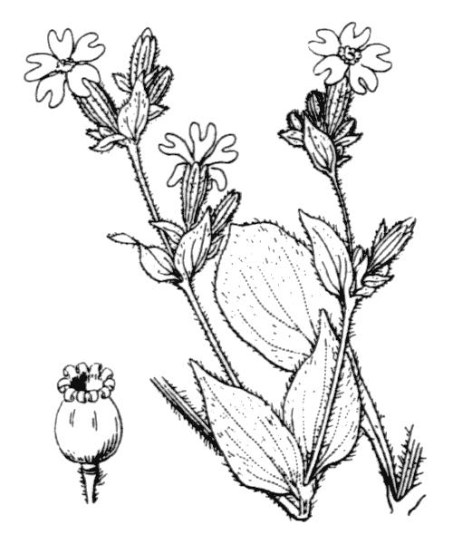 Silene dioica (L.) Clairv. var. dioica - illustration de coste