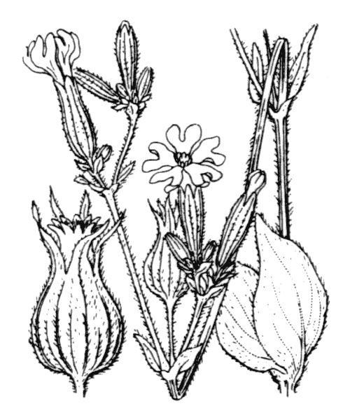Silene latifolia Poir. subsp. latifolia - illustration de coste