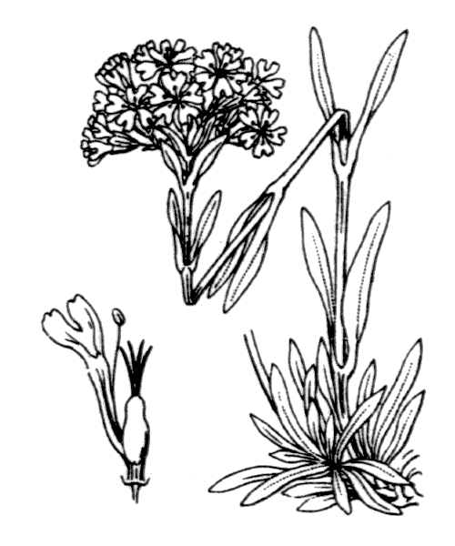 Viscaria alpina (L.) G.Don - illustration de coste