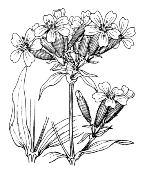 Saponaria officinalis L. - illustration de coste