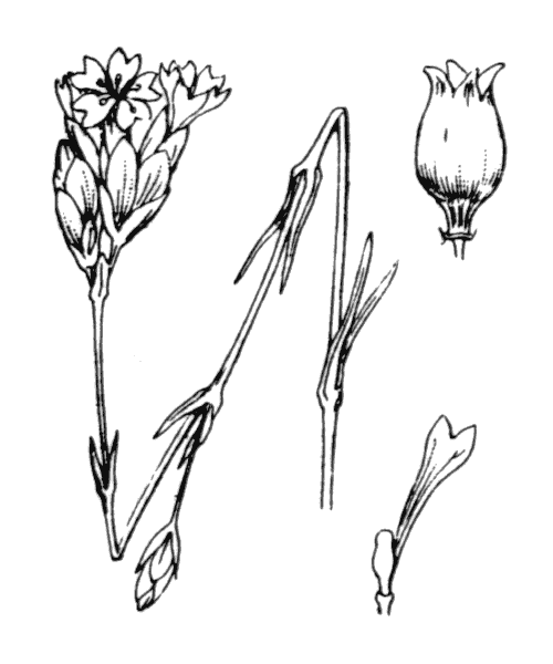 Petrorhagia prolifera (L.) P.W.Ball & Heywood - illustration de coste