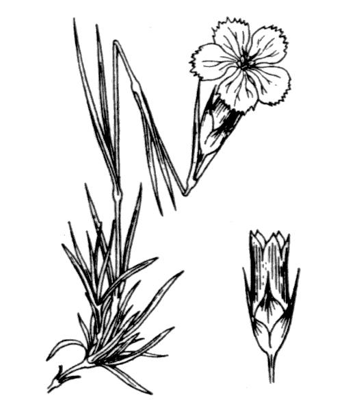 Dianthus pavonius Tausch - illustration de coste
