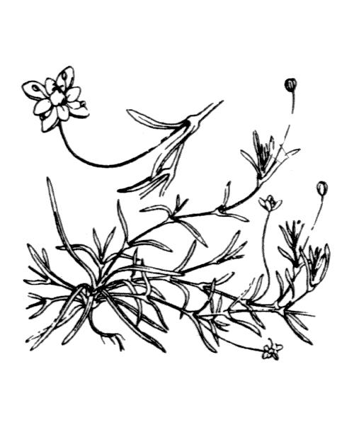 Sagina procumbens L. - illustration de coste