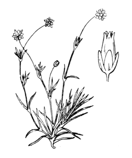 Sagina saginoides (L.) H.Karst. subsp. saginoides - illustration de coste