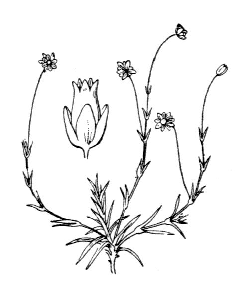 Sagina saginoides subsp. pyrenaica (Rouy) Font Quer - illustration de coste
