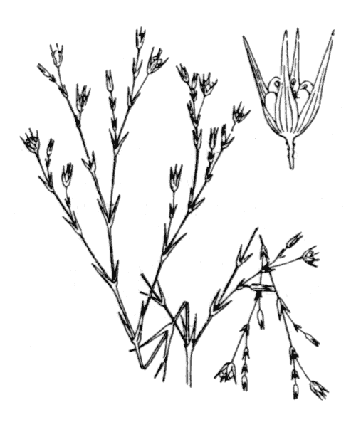 Bufonia tenuifolia L. - illustration de coste