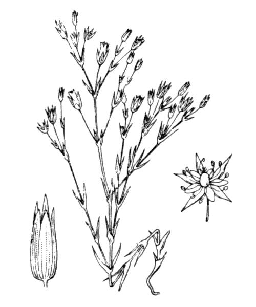 Minuartia hybrida subsp. tenuifolia (L.) Kerguélen - illustration de coste