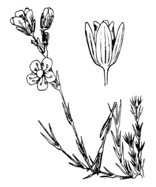 Cherleria laricifolia (L.) A.J.Moore & Dillenb. subsp. laricifolia - illustration de coste