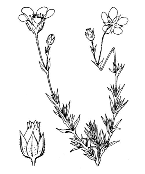 Arenaria grandiflora L. - illustration de coste