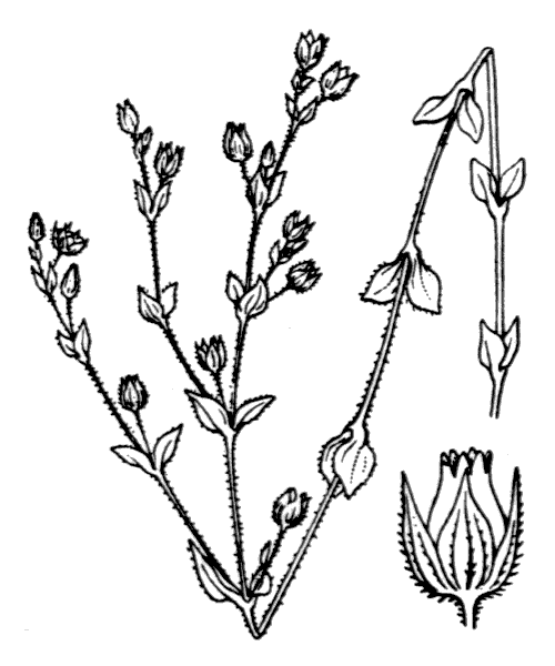 Arenaria serpyllifolia L. [1753] - illustration de coste
