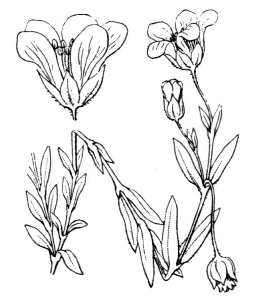 Arenaria montana L. - illustration de coste