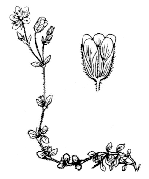 Arenaria ciliata L. - illustration de coste