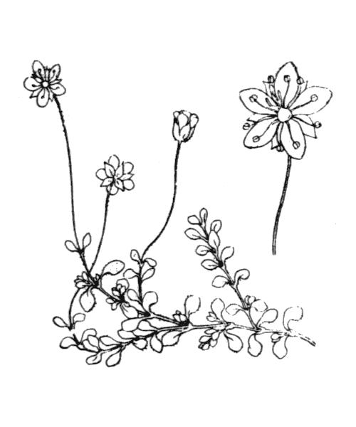 Arenaria balearica L. - illustration de coste