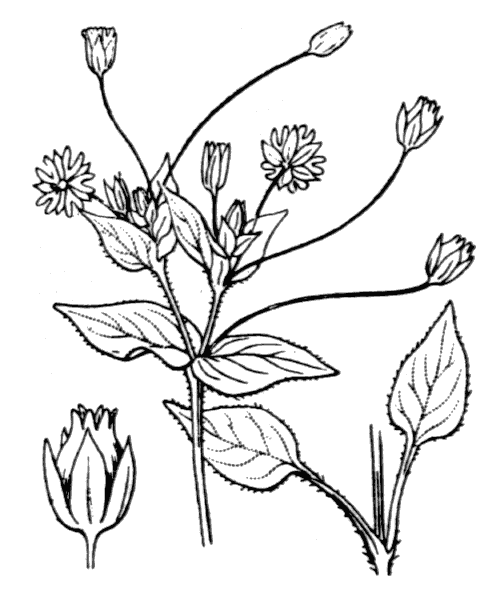 Stellaria media (L.) Vill. [1789] - illustration de coste