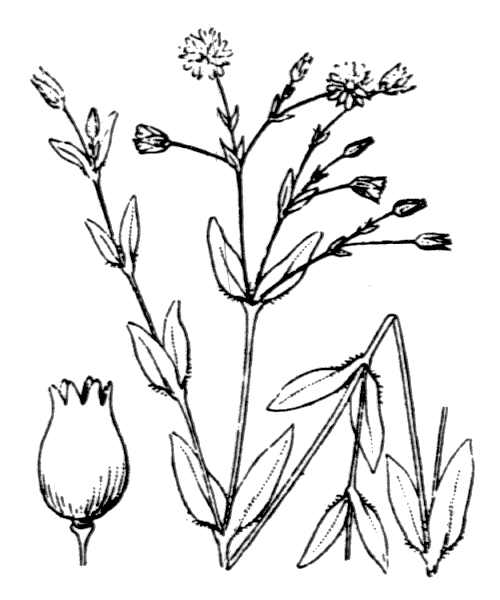 Stellaria alsine Grimm - illustration de coste