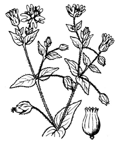 Stellaria aquatica (L.) Scop. - illustration de coste