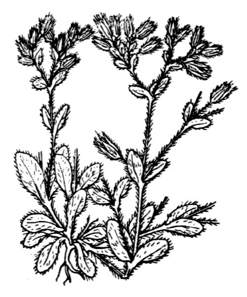 Cerastium comatum Desv. - illustration de coste