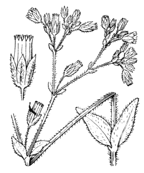 Cerastium fontanum subsp. vulgare (Hartm.) Greuter & Burdet - illustration de coste
