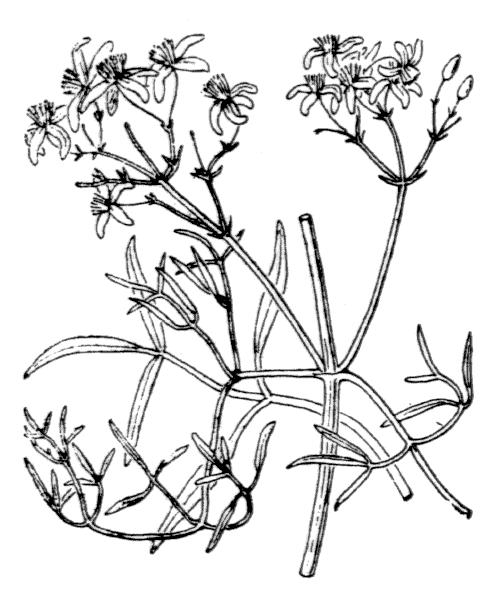 Clematis flammula L. - illustration de coste