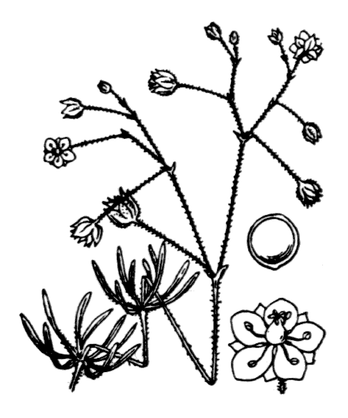 Spergula arvensis L. - illustration de coste