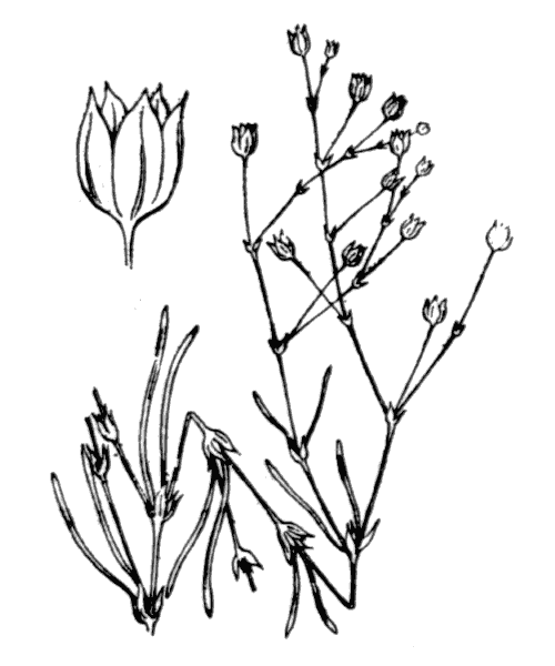 Spergula segetalis (L.) Vill. [1789] - illustration de coste