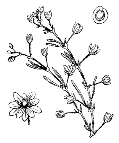 Spergula marina (L.) Bartl. & H.L.Wendl. - illustration de coste