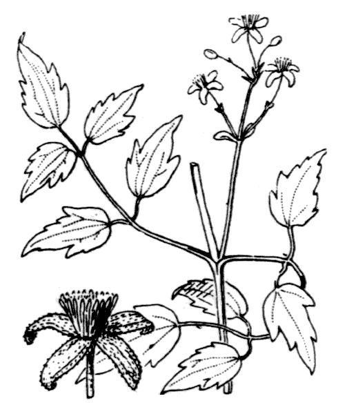 POWOJNIKI DO POJEMNIKÓW ogród łobzów kraków clematis
