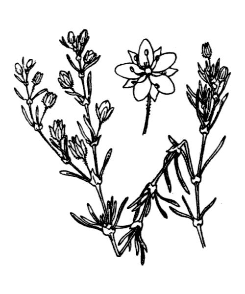 Spergula rubra (L.) D.Dietr. - illustration de coste
