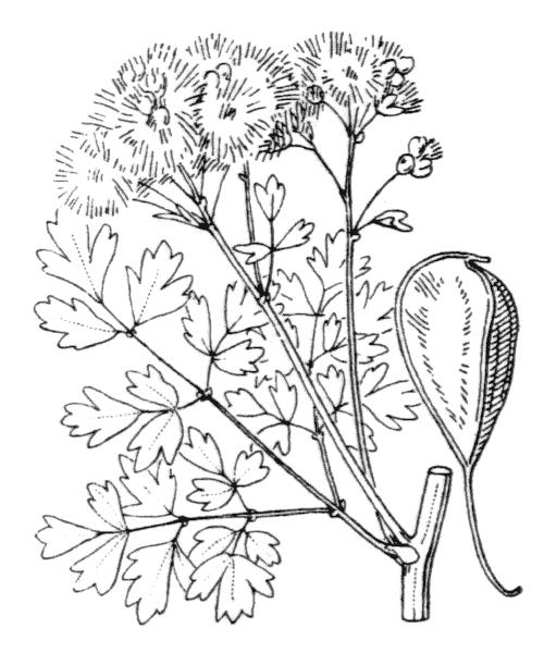 Thalictrum aquilegiifolium L. - illustration de coste