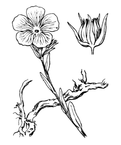 Linum campanulatum L. - illustration de coste