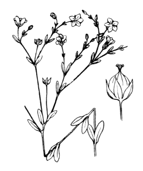 Linum catharticum L. - illustration de coste