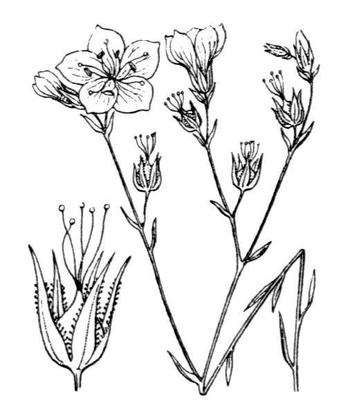 Linum tenuifolium L. - illustration de coste
