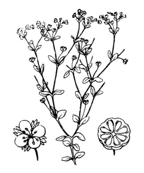 Radiola linoides Roth - illustration de coste